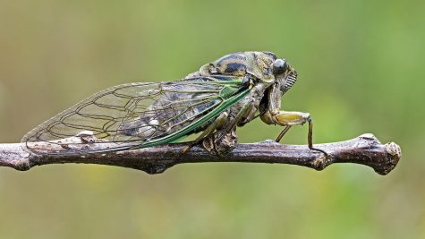 Cicadas are Back in the Summer of 2021